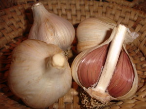 bulbs garlic