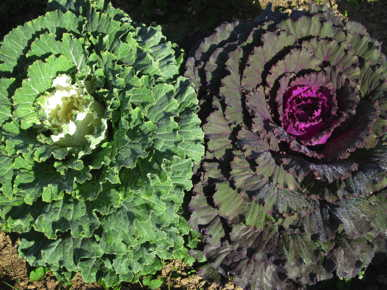 Flowering Cabbage Mix