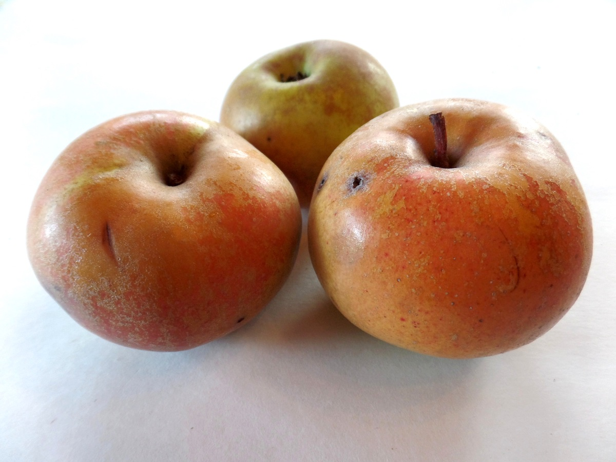 Golden Russet (of NY) Apple Scionwood