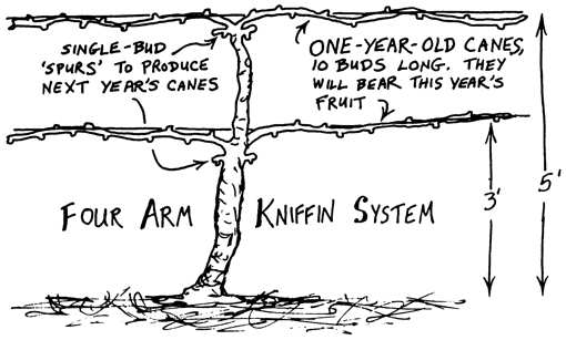 grape pruning kniffin system image